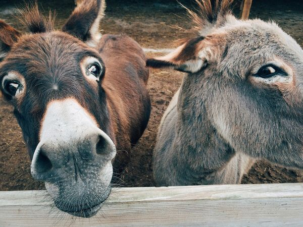 Feeding Donkeys and Mules